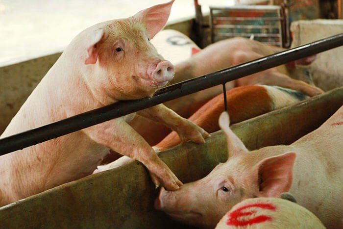 pigs-agriculture-industry